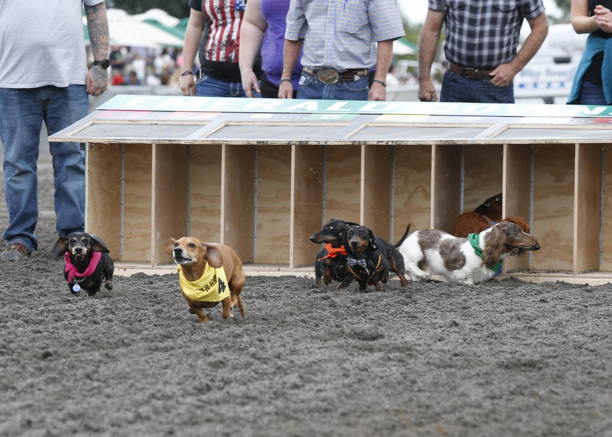 Wiener Dog Wiener Wannabe Amp Corgi Races Emerald Downs
